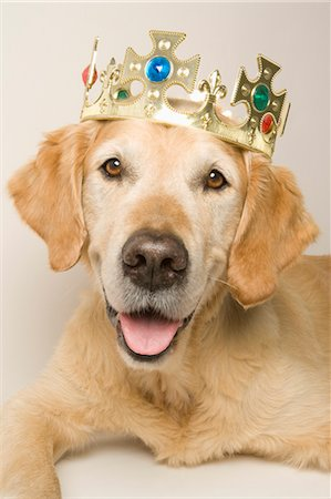 Portrait of Golden Retriever Wearing a Crown Stock Photo - Premium Royalty-Free, Code: 600-03660048
