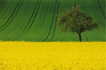 single fruits tree - Canola Field and Apple Tree, Spessart, Bavaria, Germany Stock Photo - Premium Royalty-Free, Code: 600-03682510