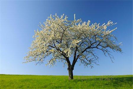single fruits tree - Cherry Tree, Odenwald, Hesse, Germany Stock Photo - Premium Royalty-Free, Code: 600-03697854