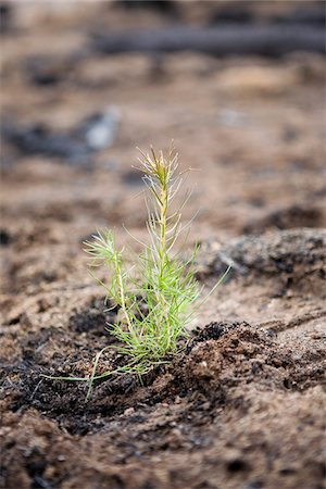 forestry - Pine Seedling in Burnt Forest, British Columbia, Canada Stock Photo - Premium Royalty-Free, Code: 600-03698368