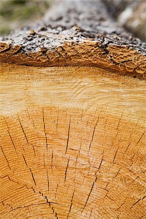 forestry - Cross-section of Log, British Columbia, Canada Stock Photo - Premium Royalty-Free, Code: 600-03698369