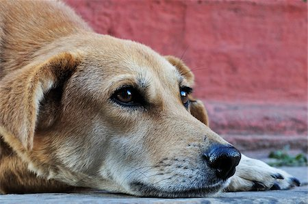 Dog, Durbar Square, Kathmandu, Bagmati, Madhyamanchal, Nepal Stock Photo - Premium Royalty-Free, Code: 600-03737747