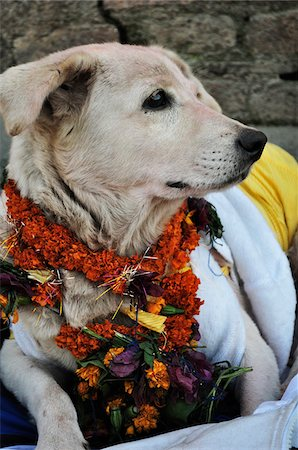 Portrait of Dog, Pashupatinath Temple, Kathmandu, Bagmati, Madhyamanchal, Nepal Stock Photo - Premium Royalty-Free, Code: 600-03737758