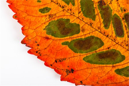 spotted - Close-up of Cherry Tree Leaf Stock Photo - Premium Royalty-Free, Code: 600-03738880