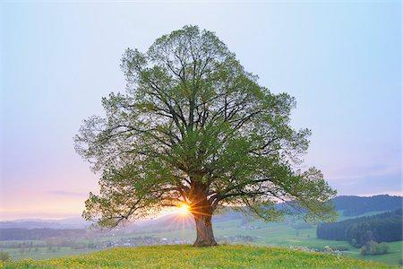 Lime Tree in Spring at Sunrise, Heimhofen, Allgau, Bavaria, Germany Stock Photo - Premium Royalty-Free, Code: 600-03738921
