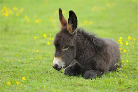 furry - Young Donkey in Meadow, Baden-Wurttemberg, Germany Stock Photo - Premium Royalty-Free, Code: 600-03738968
