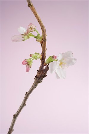 Close-up of Cherry Blossom Stock Photo - Premium Royalty-Free, Code: 600-03762567
