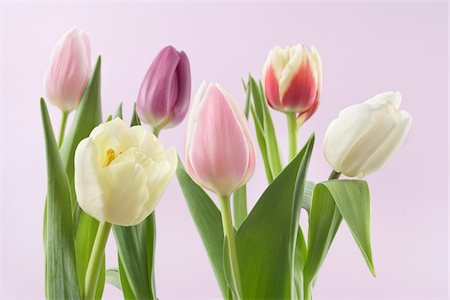 spring flowers - Variety of Tulips Stock Photo - Premium Royalty-Free, Code: 600-03762576