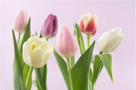 spring flowers - Variety of Tulips Stock Photo - Premium Royalty-Free, Code: 600-03762576