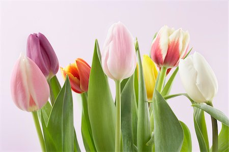spring flowers - Variety of Tulips Stock Photo - Premium Royalty-Free, Code: 600-03762573
