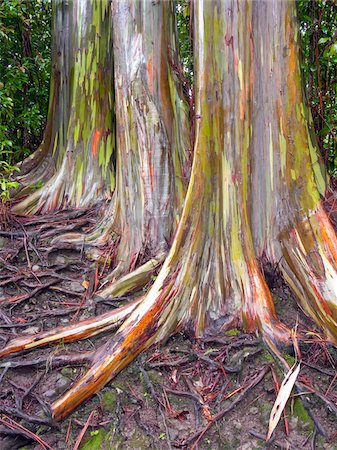 Rainbow Eucalyptus, Hana Highway, Maui, Hawaii, USA Stock Photo - Premium Royalty-Free, Code: 600-03778029