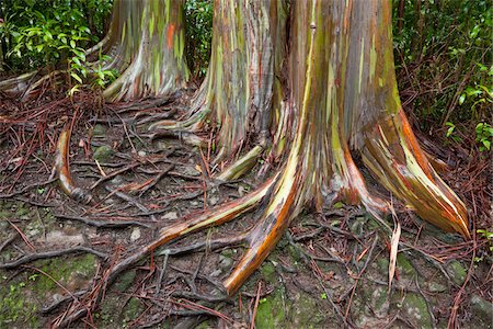 Rainbow Eucalyptus, Hana Highway, Maui, Hawaii, USA Stock Photo - Premium Royalty-Free, Code: 600-03778030