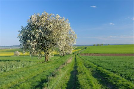 Cherry Tree in Bloom in Farmland, Franconia, Bavaria, Germany Stock Photo - Premium Royalty-Free, Code: 600-03787181