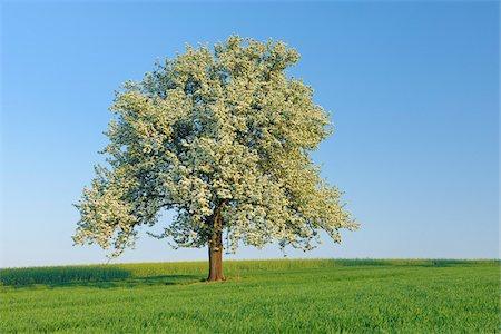 single fruits tree - Pear Tree in Bloom in Meadow, Mettlach, Merzig-Wadern District, Saarland, Germany Stock Photo - Premium Royalty-Free, Code: 600-03787183