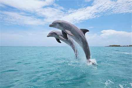Common Bottlenose Dolphins Jumping out of Water, Caribbean Sea, Roatan, Bay Islands, Honduras Stock Photo - Premium Royalty-Free, Code: 600-03787211