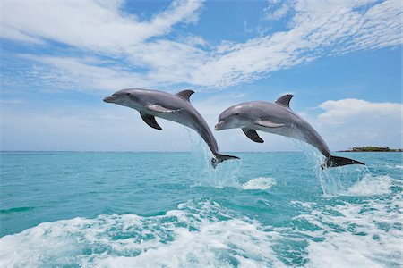 Common Bottlenose Dolphins Jumping in Air, Caribbean Sea, Roatan, Bay Islands, Honduras Stock Photo - Premium Royalty-Free, Code: 600-03787213