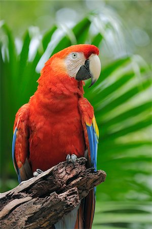Portrait of Scarlet Macaw, Roatan, Bay Islands, Honduras Stock Photo - Premium Royalty-Free, Code: 600-03787227