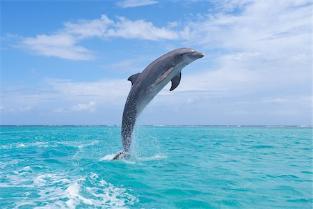 Common Bottlenose Dolphin Jumping out of Water, Caribbean Sea, Roatan, Bay Islands, Honduras Stock Photo - Premium Royalty-Free, Code: 600-03787222