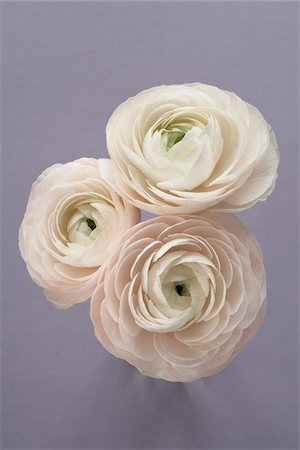 Three Ranunculus Stock Photo - Premium Royalty-Free, Code: 600-03782477