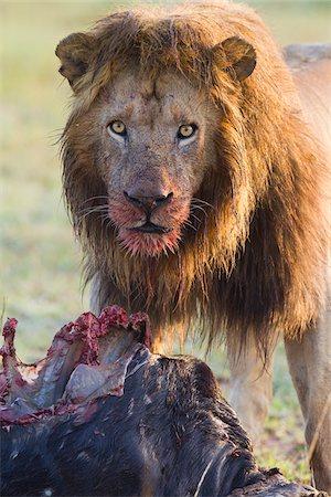 Male Lion with Kill, Masai Mara National Reserve, Kenya Stock Photo - Premium Royalty-Free, Code: 600-03814836
