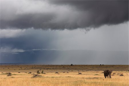 African Bush Elephant and Stormy Sky, Masai Mara National Reserve, Kenya Stock Photo - Premium Royalty-Free, Code: 600-03814839