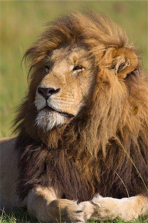 Portrait of Male Lion, Masai Mara National Reserve, Kenya Stock Photo - Premium Royalty-Free, Code: 600-03814844