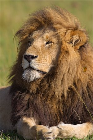 Portrait of Male Lion, Masai Mara National Reserve, Kenya Stock Photo - Premium Royalty-Free, Code: 600-03814844