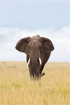 African Bush Elephant, Masai Mara National Reserve, Kenya Stock Photo - Premium Royalty-Free, Code: 600-03814868