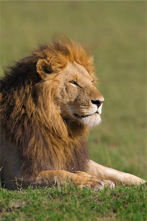 Portrait of Male Lion, Masai Mara National Reserve, Kenya Stock Photo - Premium Royalty-Free, Code: 600-03814887