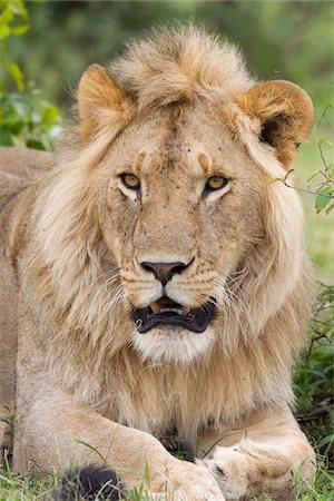 Young Male Lion, Masai Mara National Reserve, Kenya Stock Photo - Premium Royalty-Free, Code: 600-03814901