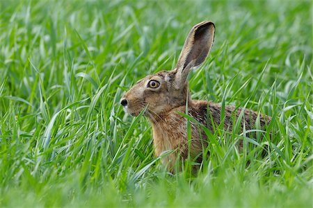 European Brown Hare, Hesse, Germany Stock Photo - Premium Royalty-Free, Code: 600-03836181