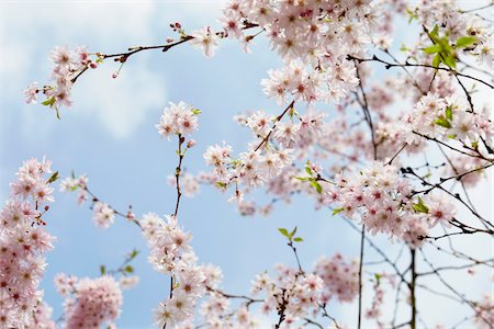 Cherry Blossoms, Hamburg, Germany Stock Photo - Premium Royalty-Free, Code: 600-03836292