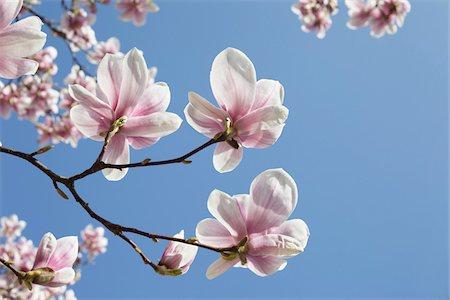 spring flowers - Flowering Magnolia, Hamburg, Germany Stock Photo - Premium Royalty-Free, Code: 600-03836316