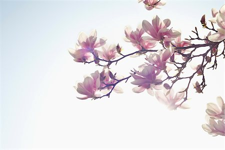 Flowering Magnolia, Hamburg, Germany Stock Photo - Premium Royalty-Free, Code: 600-03836317