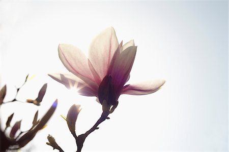 Flowering Magnolia, Hamburg, Germany Stock Photo - Premium Royalty-Free, Code: 600-03836319