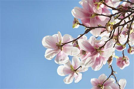 spring flowers - Flowering Magnolia, Hamburg, Germany Stock Photo - Premium Royalty-Free, Code: 600-03836312
