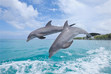 Common Bottlenose Dolphins Jumping in Sea, Roatan, Bay Islands, Honduras Stock Photo - Premium Royalty-Free, Code: 600-03849086