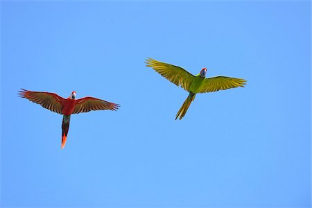 flying bird - Scarlet Macaw and Great Green Macaw in Flight, Roatan, Bay Islands, Honduras Stock Photo - Premium Royalty-Free, Code: 600-03849092