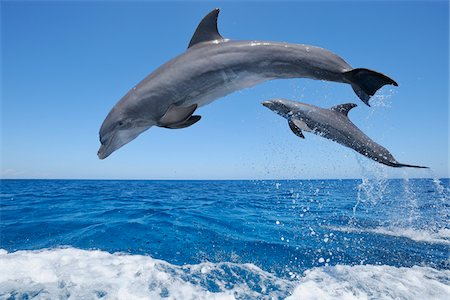 Common Bottlenose Dolphins Jumping in Sea, Roatan, Bay Islands, Honduras Stock Photo - Premium Royalty-Free, Code: 600-03849107