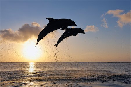 Common Bottlenose Dolphins Jumping in Sea at Sunset, Roatan, Bay Islands, Honduras Stock Photo - Premium Royalty-Free, Code: 600-03849102