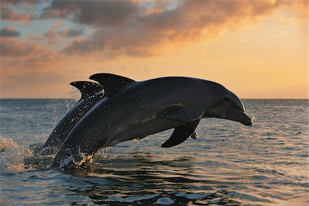 Common Bottlenose Dolphins Jumping in Sea at Sunset, Roatan, Bay Islands, Honduras Stock Photo - Premium Royalty-Free, Code: 600-03849114