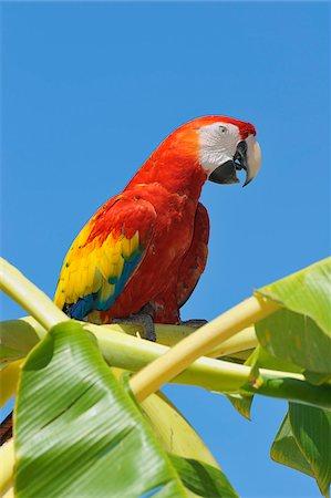 exotic outdoors - Scarlet Macaw in Banana Tree, Roatan, Bay Islands, Honduras Stock Photo - Premium Royalty-Free, Code: 600-03849118