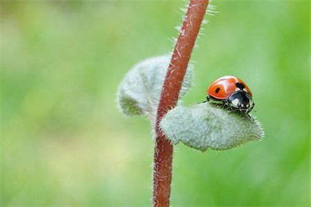 spotted - Seven Spot Ladybird on Leaf. Franconia, Bavaria, Germany Stock Photo - Premium Royalty-Free, Code: 600-03849137