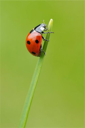 Seven Spot Ladybird on Blade of Grass, Franconia, Bavaria, Germany Stock Photo - Premium Royalty-Free, Code: 600-03849138