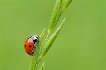 spotted - Seven Spot Ladybird on Plant, Franconia, Bavaria, Germany Stock Photo - Premium Royalty-Free, Code: 600-03849139