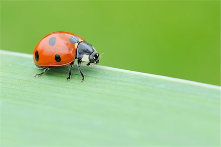 spotted - Seven Spot Ladybird on Blade of Grass, Franconia, Bavaria, Germany Stock Photo - Premium Royalty-Free, Code: 600-03849140