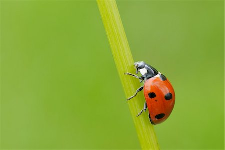 spotted - Seven Spot Ladybird on Blade of Grass, Franconia, Bavaria, Germany Stock Photo - Premium Royalty-Free, Code: 600-03849141