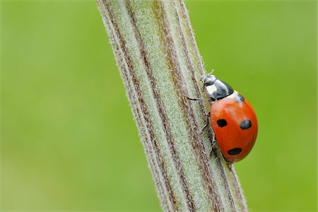 spotted - Seven Spot Ladybird on Plant, Franconia, Bavaria, Germany Stock Photo - Premium Royalty-Free, Code: 600-03849142