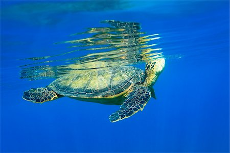 endangered animal - Underwater View of Green Sea Turtle, Maui, Hawaii, USA Stock Photo - Premium Royalty-Free, Code: 600-03849489