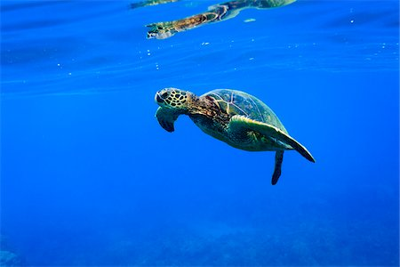 Underwater View of Green Sea Turtle, Maui, Hawaii, USA Stock Photo - Premium Royalty-Free, Code: 600-03849490